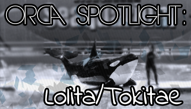 Whale Wednesday: Spotlight on Lolita/Tokitae
