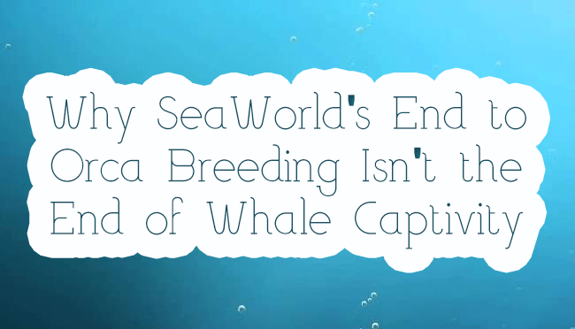 Why SeaWorld's End to Orca Breeding Isn't the End of Whale Captivity