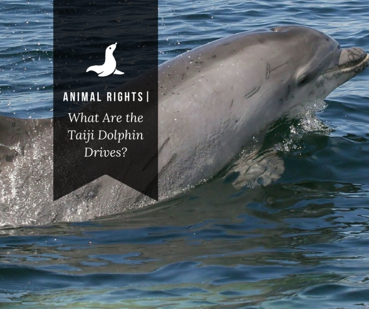 Animal Rights| What Are the Taiji DolphinDrives?