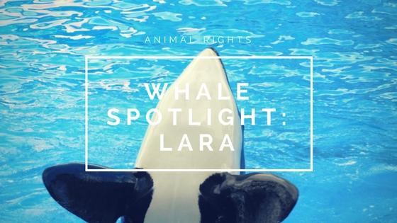 Animal Rights| Whale Spotlight – Lara