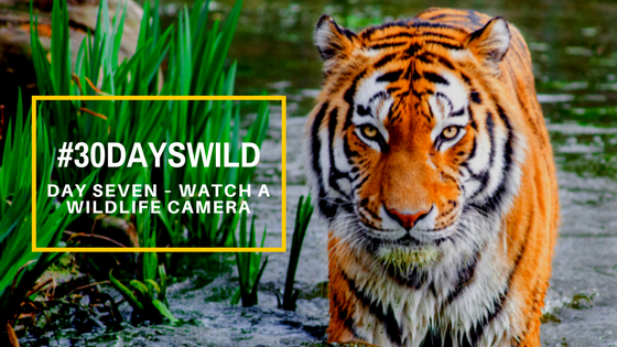#30DaysWild| Day Seven – Watch a WildlifeCamera